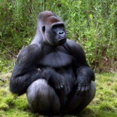 Gorilas y humanos, parientes más cercanos