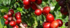 En mejor café en México se localiza en Sierra Juárez